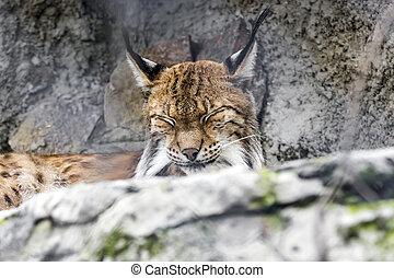 bobcat, rufus, sittande, på, grå, rockar