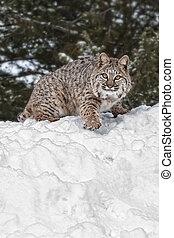 bobcat, snö