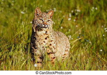 Bobcat (Lynx rufus) standing in a grass with flowers