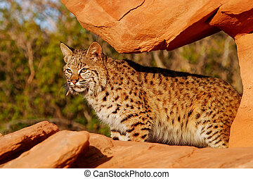 Bobcat (Lynx rufus) standing on red rocks