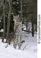Bobcat stretching on tree limb