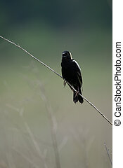 A bobolink sitting on a dried grass stalk in an open field.