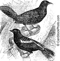 Bobolink also known as Dolichonyx oryzivorus, two, birds, vintage engraved illustration of Bobolink.
