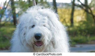 Bobtail dog portrait close-up