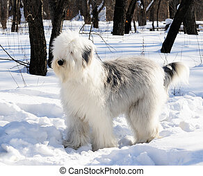Bobtail dog in winter park