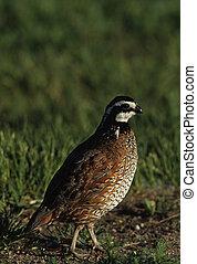a male bobwhite quail in green grass