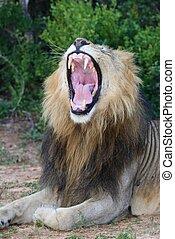 boca, mostrando, abertos, leão, dentes