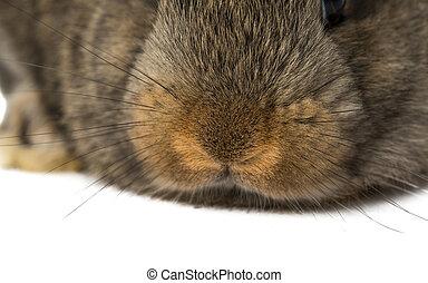 boca, nariz, conejo