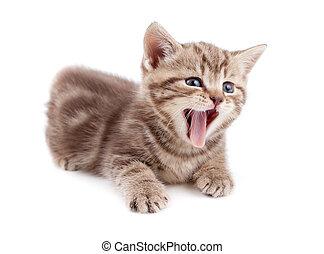 bocejar, escocês, isolado, gatinho, listrado, mentindo
