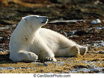 boden, bär, polar, brauner, liegen