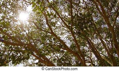 bodhi, arbre, sacré
