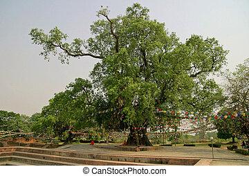 Bodhi tree in Lumbini, Nepal