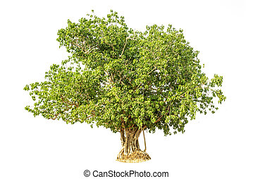 Bodhi Tree isolated against a over white background
