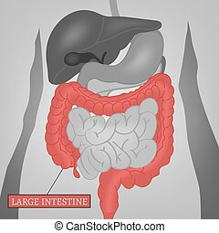 Body Internal Parts - Beautiful vector illustration of the ...