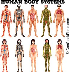 Body system of man and woman illustration