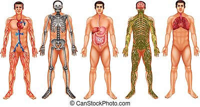 Body systems - Chart of human body system
