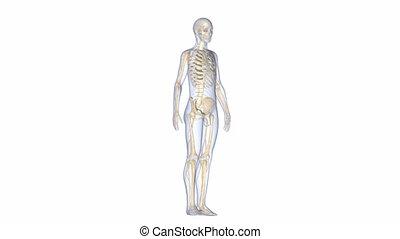 Body with Skeleton
