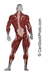 Bodybuilder muscles anatomy isolated