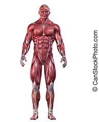 bodybuilder pose - 3d rendered anatomy illustration of a...