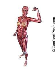 bodybuilder, pose, femininas