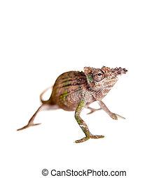 Boehme's chameleon, kinyongia boehmei, on white - Boehme's...