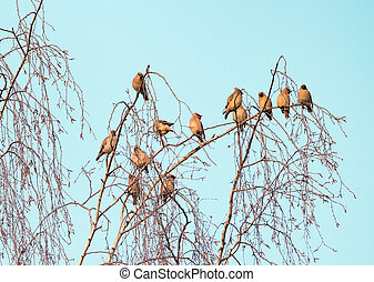 boemo, uccelli, waxwing, albero, branches., betulla, gregge
