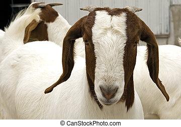 boer, chèvre, sud-africain
