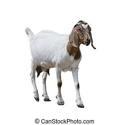 Boer goat on white