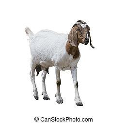 Boer goat on white - Boer goat isolated on white background