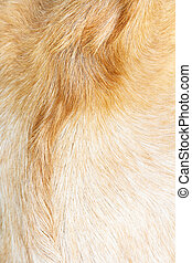 boer goat wool background - close up of boer goat wool...