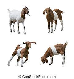 Boer Goats isolated on white background