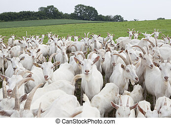 Boer goats - a flock of white goats standing on a pasture
