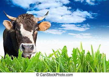 boer veld, grazen, koe