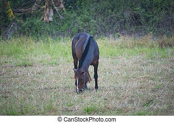 boer veld, paarde