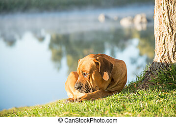 Boerboel dog by tree on river bank