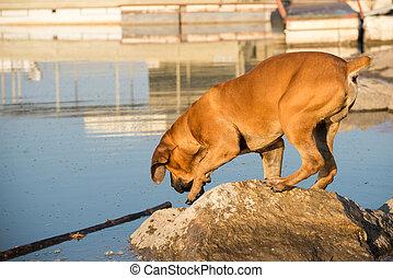 Boerboel dog fetching stick in water
