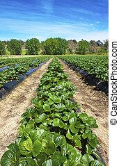 boerderij, aardbei