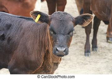 boerderij, bruine koe