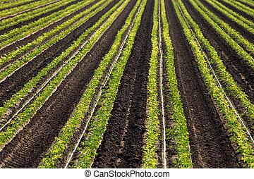 boerderij, cilantro, rijen, oogst