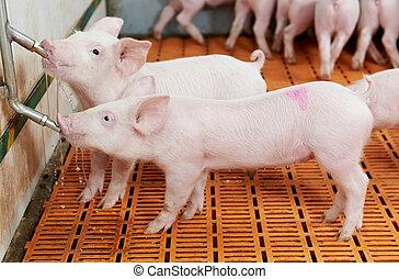boerderij, drinkt, varken, big, jonge