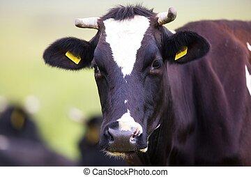 boerderij, koe