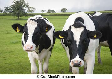 boerderij, koien, melkinrichting, uk