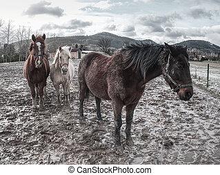 boerderij, paarden, op, een, modderig, weide