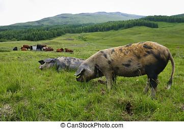 boerderij, schotland, dier