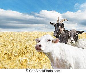 boerderijdieren, in, een, weit veld
