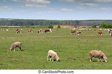 boerderijdieren, in, wei