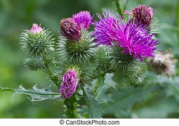 bogáncs, virágzó, closeup, külső, horizontális