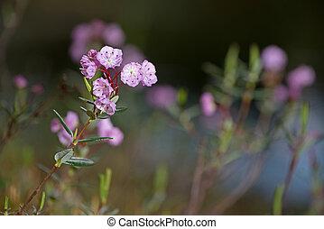 Bog American-laurel flowers