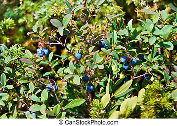 Bog bilberry - Forest landscape with bog bilberry plants and...