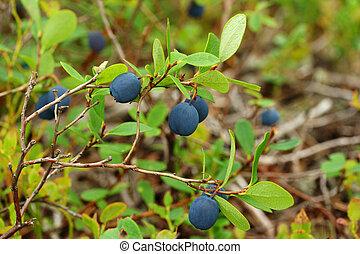 Bog Bilberry - Vaccinium uliginosum (bog bilberry or northen...